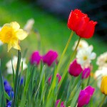 Colourful Spring Garden of blooming flowers