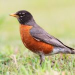 American Robins are the earliest bird in Spring.