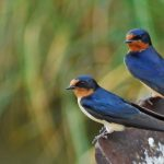 Barn Swallow portrayed as lovebirds.