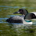 2 loons in a pond embroidered